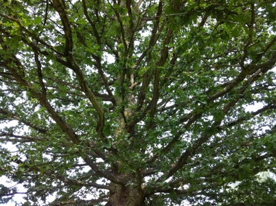 Oak Tree at Celtic Harmony Camp